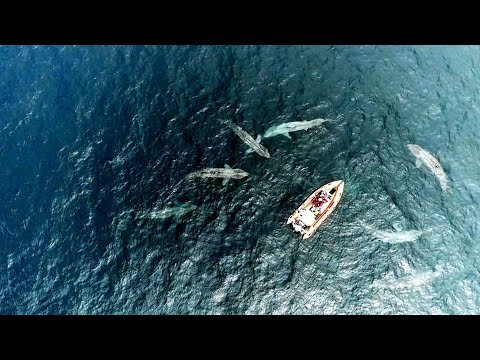 Drone footage shows amazing encounter with basking sharks off Co Clare coast