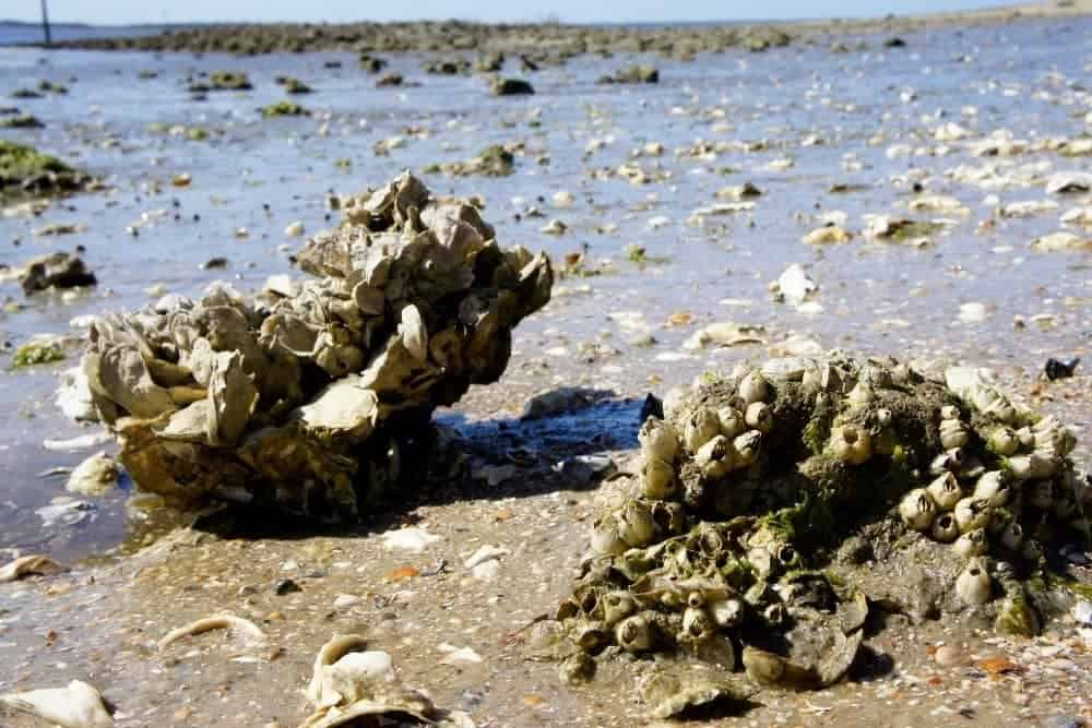 Barnacles and Oysters